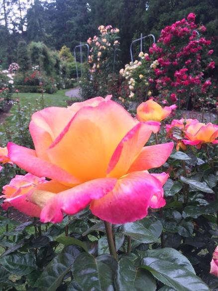 Portlands International Rose test garden