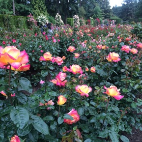 Over 7,000 rose plants of APX 550 varieties
