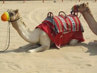 Dubai camel